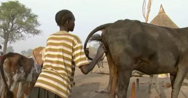 Así es como estimulan los Nuer a las vacas para que den más leche