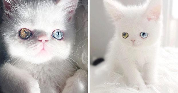 Esta es Pam Pam, una gatita con heterocromía cuyos ojos te hipnotizarán