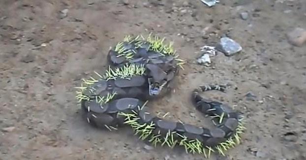 Esta serpiente intentó comerse un puercoespín y quedó llena de púas