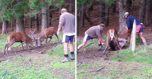 Dos agricultores liberan a dos ciervos atrapados en una valla