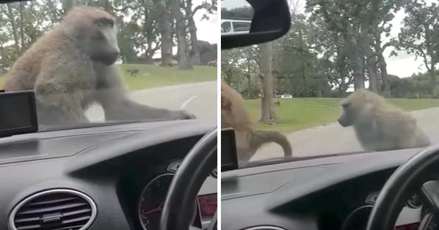 Dos babuinos dan rienda suelta a la pasión encima del coche de una familia en un safari park
