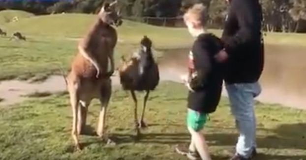 Un canguro le da un puñetazo a un niño en un safari de Australia