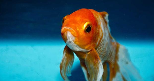 El pez que se emborracha para sobrevivir los duros meses del invierno