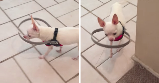 A este perro ciego le han fabricado un aparato para que no se choque contra las cosas