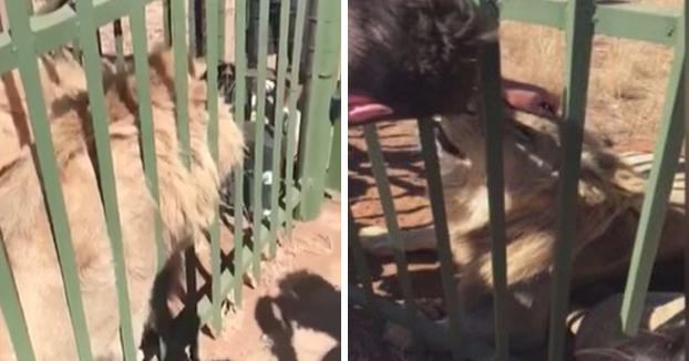 Le dijeron que podía acariciar al león a través de los barrotes y casi se queda sin brazo
