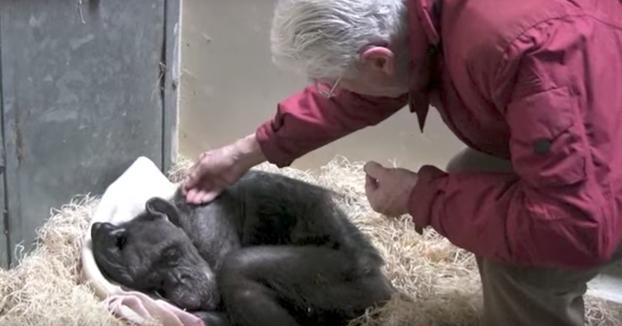 El conmovedor momento en el que una visita alegra el día de una chimpancé anciana