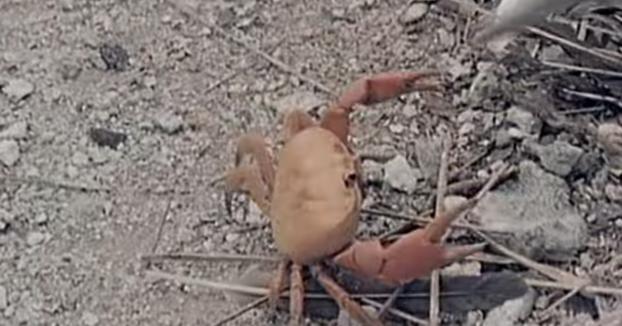 Este cangrejo saca su lado más de supervivencia cuando está perdiendo una pelea