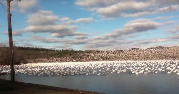 10.000 gansos blancos alzando el vuelo en el lago Massawippi