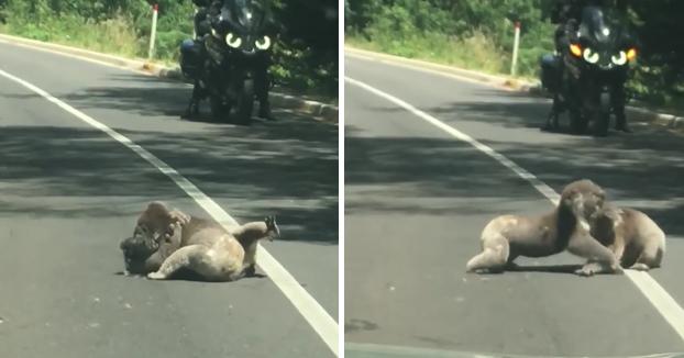Dos koalas se pelean en mitad de la carretera y detienen el tráfico