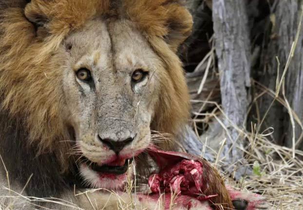 Un cazador es devorado por un grupo de leones después de que matase a tres familias de babuinos