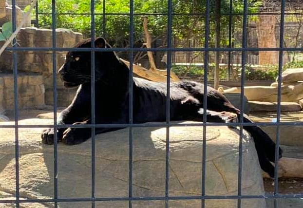 Un jaguar ataca a una mujer en un zoo que saltó la barrera para hacerse un selfie