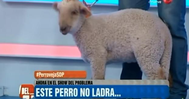 Mujer denuncia que fue a comprar un perro y le vendieron una oveja
