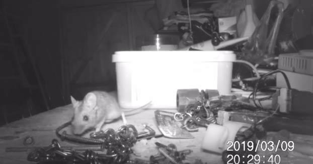 Un hombre graba cómo un ratón ordena pequeñas piezas de su cobertizo cada noche
