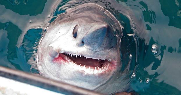 Momento en el que unos pescadores capturan un enorme tiburón de 250 kilos y más de dos metros de largo