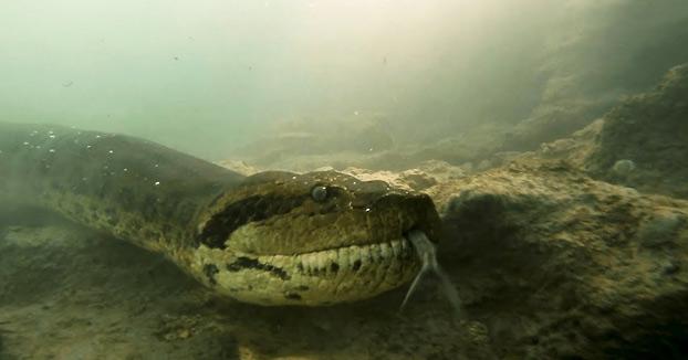 Unos buceadores se encuentran cara a cara con una anaconda gigante mientras exploran un río