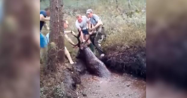 Cazadores salvan a un ciervo atrapado en el fango en Bielorrusia